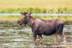 科罗拉多野生生物 幼小公牛麋在湖 免版税库存照片