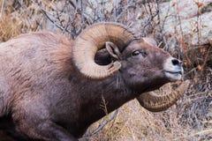 科罗拉多野生生物 幼小公牛麋在湖 免版税图库摄影