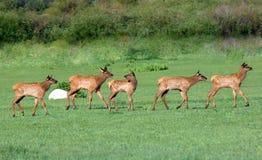 科罗拉多麋小鹿 免版税图库摄影