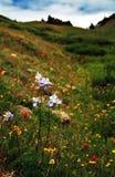 科罗拉多columbines春天 库存照片