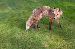 科罗拉多Fox 免版税库存图片