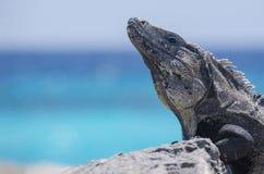 科苏梅尔鬣鳞蜥 库存图片