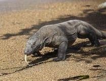 科莫多岛海岛印度尼西亚龙异乎寻常的动物 库存图片