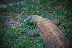 科莫多岛监控蜥蜴 免版税库存图片