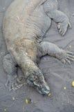 科莫多岛蜥蜴 免版税库存照片