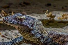 科莫多岛 免版税库存图片