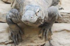 科莫多巨蜥凝视 免版税库存照片