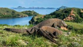 科莫多巨蜥巨晰属komodoensis战斗为控制权 库存图片