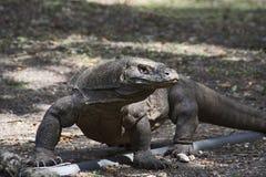 科莫多巨蜥或显示器,印度尼西亚野生生物,印度尼西亚 免版税库存照片