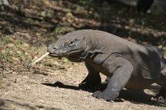 科莫多巨蜥或显示器,印度尼西亚野生生物,印度尼西亚 库存照片