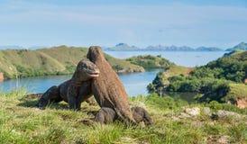 科莫多巨蜥控制权的巨晰属komodoensis战斗  免版税库存照片