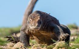 科莫多巨蜥步行  o 科学名字:巨晰属komodoensis   最大的生存蜥蜴在世界上 免版税库存照片