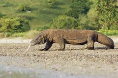 科莫多巨蜥,巨晰属komodoensis 库存照片
