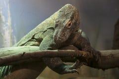 科莫多巨蜥,最大的蜥蜴在世界上 库存照片