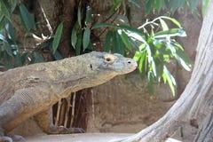 科莫多巨蜥,狂放的Reptil,野生生物 免版税图库摄影