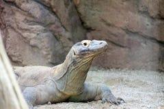 科莫多巨蜥,狂放的Reptil,野生生物 免版税库存图片