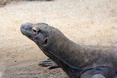 科莫多巨蜥,狂放的Reptil,野生生物 库存图片