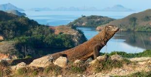 科莫多巨蜥,科学名字:巨晰属komodoensis 在背景的风景看法,自然生态环境 印度尼西亚 免版税库存图片