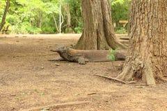 科莫多巨蜥,科莫多岛海岛 免版税库存照片