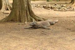 科莫多巨蜥,科莫多岛海岛 免版税图库摄影