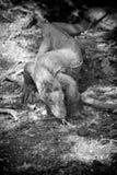 科莫多巨蜥, B&W 印度尼西亚 免版税图库摄影