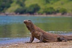 科莫多巨蜥 免版税库存图片