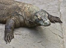 科莫多巨蜥 免版税库存照片