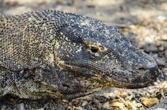 科莫多巨蜥头 免版税库存照片