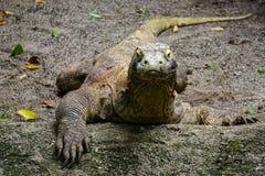 科莫多巨蜥 图库摄影
