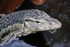 科莫多巨蜥 库存图片