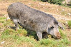 科西嘉岛猪 免版税库存图片