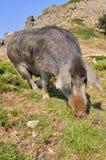 科西嘉岛猪 库存图片