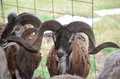 科西嘉岛绵羊 库存照片