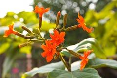 科迪亚sebestena花。 免版税库存图片