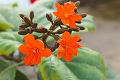 科迪亚sebestena花。 免版税库存照片
