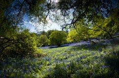 秘密会开蓝色钟形花的草沼地 免版税库存图片