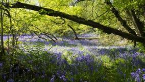 秘密会开蓝色钟形花的草沼地 免版税图库摄影