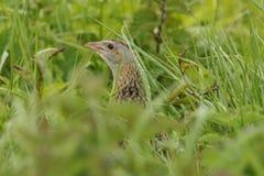 秘密的罕见的秧鸡类& x28; Crex crex& x29;在掩藏在下木的一rainey天 免版税库存照片