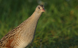 秘密的罕见的秧鸡类& x28; Crex crex& x29;画象 图库摄影