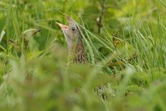 秘密的罕见的秧鸡类& x28; Crex crex& x29;锉在掩藏在下木的一rainey天 免版税库存图片