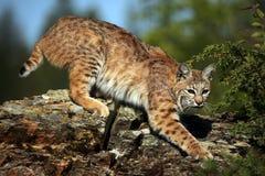 秘密的美洲野猫 图库摄影