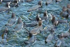 秘鲁企鹅 免版税库存图片
