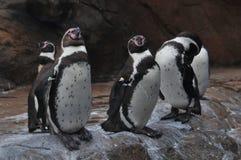 秘鲁企鹅 库存照片