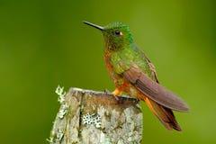 从秘鲁的鸟 在森林蜂鸟栗子breasted冠的橙色和绿色鸟, Boissonneaua matthewsii在森林里 库存照片