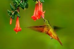 从秘鲁的鸟 橙色和绿色鸟在有红色花的森林里 蜂鸟栗子breasted冠在森林Hummingb里 免版税库存照片