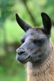 秘鲁骆马 免版税库存照片