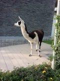 秘鲁骆马 免版税库存图片