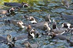 秘鲁punguins 免版税图库摄影