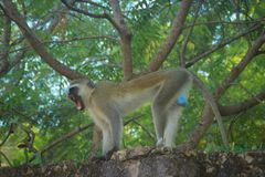 积极和恼怒的黑长尾小猴在篱芭咧嘴 肯尼亚 免版税库存图片