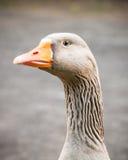 积极地守卫她的疆土的灰雁 免版税库存照片